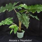 alocasia_x_megalodon