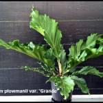 anthurium_plowmanii_grande