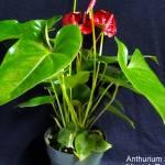 anthurium_x_kerrich_ruby