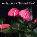 anthurium_x_tickled_pink