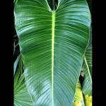 philodendron_davidsonii