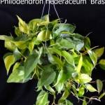 philodendron_hederaceum_brasil