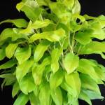philodendron_lemon_lime