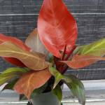 philodendron_mccolys_finale