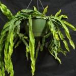lepismium_cruciforme_var_spiralis_hurricane_cactus