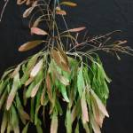 pseudorhipsalis_rammulosa