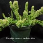 rhipsalis_mesembryanthemoides